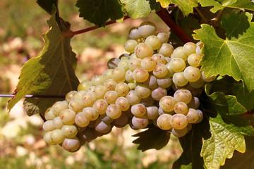 une grappe de raisins blancs