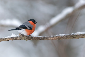 Bullfinch sits on a icy branch