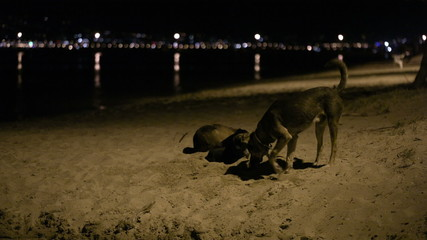 Three stray dogs in the beach by night