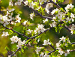 Spring blossoms flowers