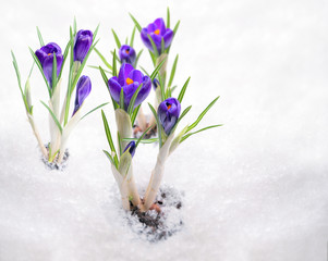 Crocuses, primroses bloom under the snow.