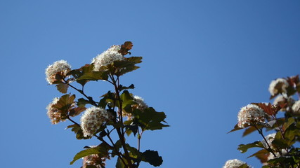 White viburnum snowball bush branch blooms move on blue sky
