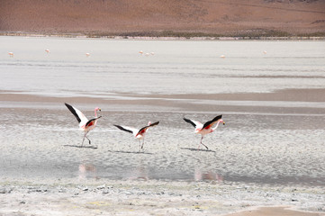 Flamingos in the Salt flat of Atacama (Chile)