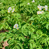 Potato in flowering