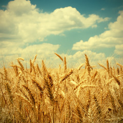 Vintage photo of wheat ears on field