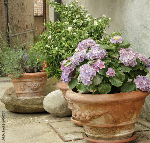 flowering hortensia and other plants  in terracotta  vases - 60202154