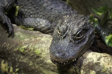 Primo piano di un alligatore della cina