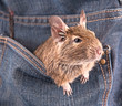 Degu in the pocket