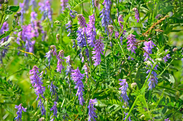 Vicia cracca flowers