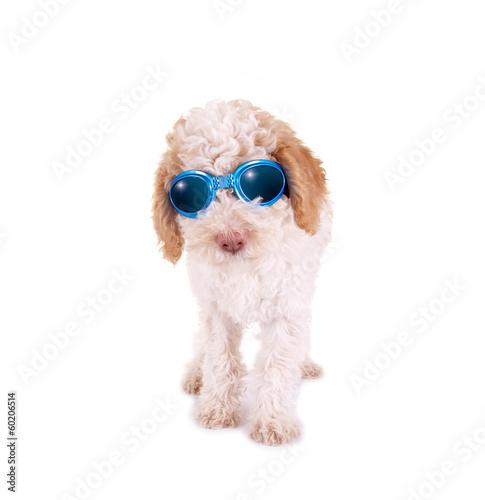 Hundewelpe mit Sonnenbrille