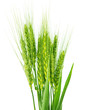 Green wheat isolated - 60207330