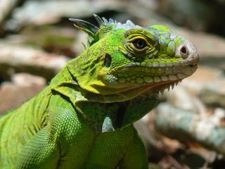 Iguane (Iguana delicatissima), Ilet Chancel, Martinique