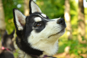 Dog Portrait - Husky