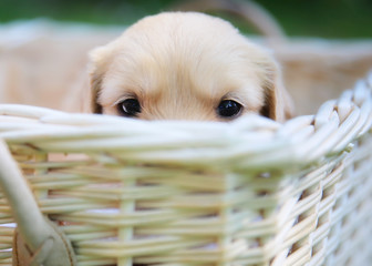 Curious golden retriever puppy