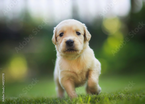 Running retriever puppy