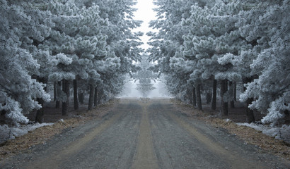 frozen pine tree forest road in winter