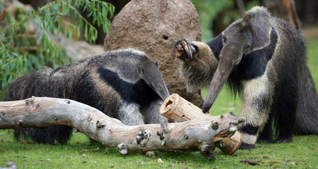 Two anteaters lifting claws