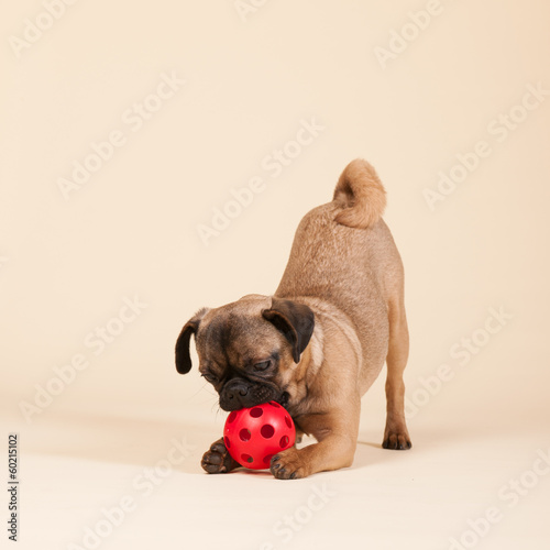Puppy pug on cream background