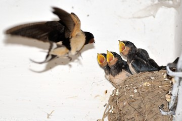 Young barn swallow in nest with open mouth