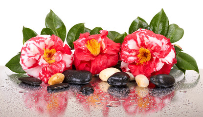 Camellia flowers and black stones isolated