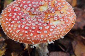 Toadstool. Mushroom.