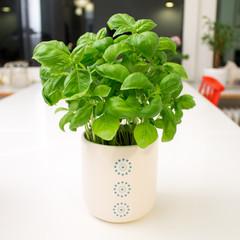 Basil plant in white pot on white table