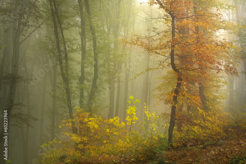 Foggy autumn forest with an orange tree © bonciutoma