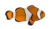 Side view of an Ocellaris clownfish, Amphiprion ocellaris