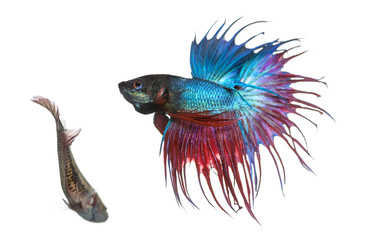 Male and female Siamese fighting fish in a courtship dance