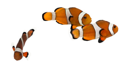 Group of Ocellaris clownfish, Amphiprion ocellaris, isolated