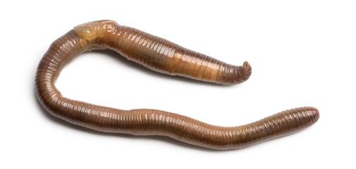 Common earthworm viewed from up high, Lumbricus terrestris