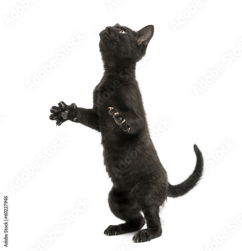 Black kitten standing on hind legs, playing, looking up