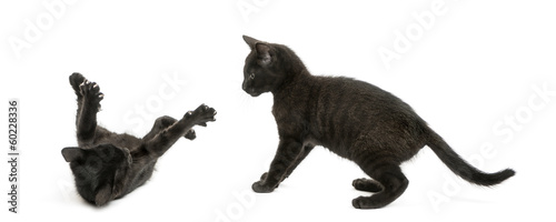 Two Black kittens playing, 2 months old, isolated on white