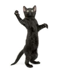 Black kitten standing on hind legs, reaching, pawing up