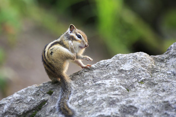 Funny wild chipmunk scratched rear paw.