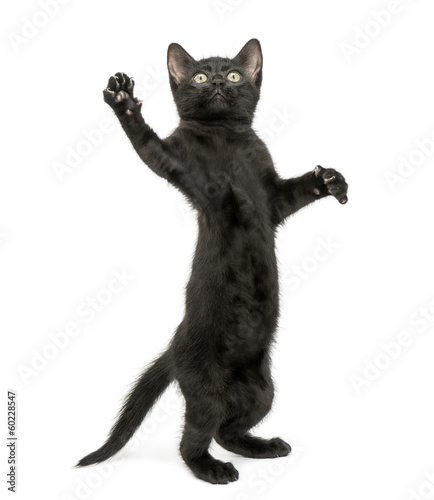 Black kitten standing on hind legs, reaching, pawing up