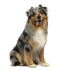 Australian shepherd blue merle, sitting, panting, 4 years old