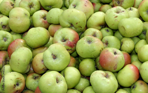 A Collection of Windfall Apples Freshly Harvested.