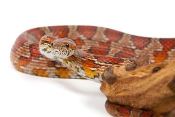snake on a white background.