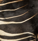 Close-up of an Okapi's fur, Okapia johnstoni