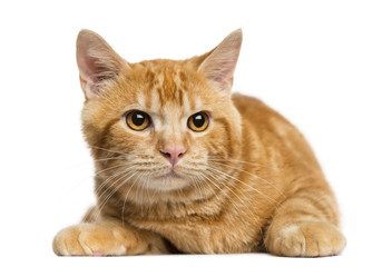 Front view of a Mixed-breed ginger cat looking away
