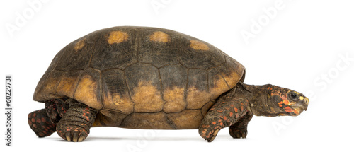 Side view of Red-footed tortoise walking, Chelonoidis carbonaria