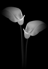 Calla flowers on black background