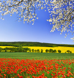spring landscape with red poppy field