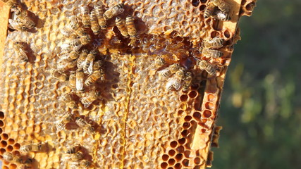 Beekeeper and bees in a hive