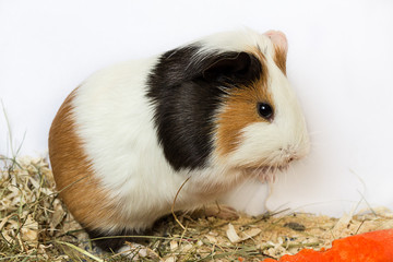 Guinea pig washes .