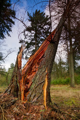 Storm damage: Larch, broken in heavy storm