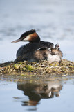 Great crested Grebe mother with chicks