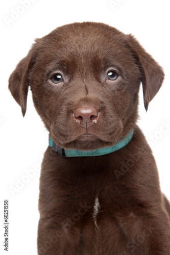 Brown Labrador puppy portrait