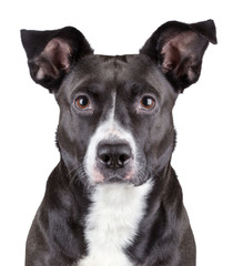 Portrait of black cute dog isolated on white background